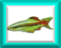 peixe37