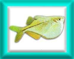 peixe41