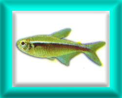 peixe43
