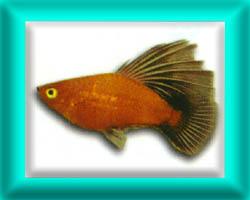 peixe50