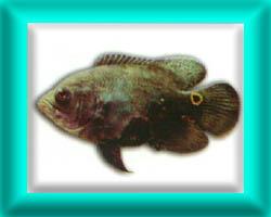 peixe51