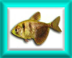 peixe52