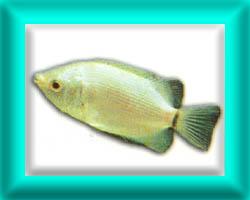 peixe55