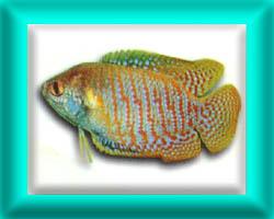 peixe56