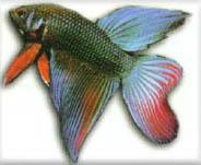 peixe58