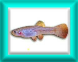 peixe61