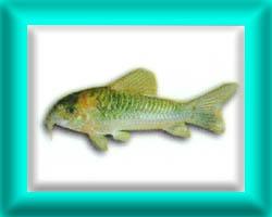 peixe62