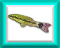 peixe63