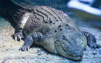 destaque_crocodilo