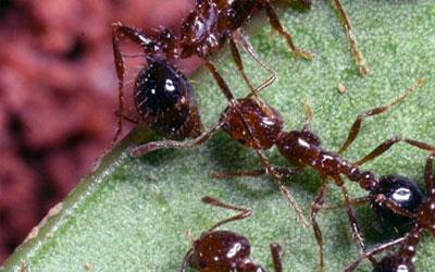 Espécies de formigas invasoras podem desrregular o ecossistema (Foto: BBC)