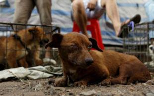 Cães para venda são vistos no mercado de cão Dashichang à frente de um festival de carne de cachorro locais