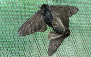 População de mariposas negras aumentou durante revolução industrial (Foto: Dr Ilik Saccheri/Divulgação)