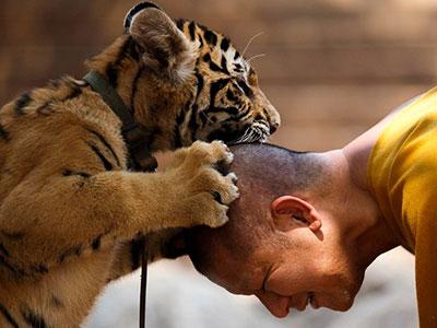 noticia_tigre_budista