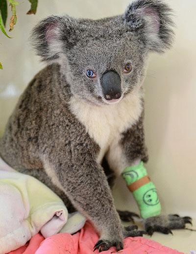 Animal com heterocromia enxerga perfeitamente (Foto: STR / AUSTRALIA ZOO / AFP)