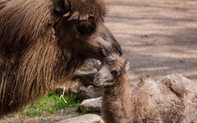 Bebê camelo Alexander Camelton nasceu no zoológico Lincoln Park em Chicago, nos Estados Unidos (Foto: hristopher Bijalba/Lincoln Park Zoo/Handout via Reuters )
