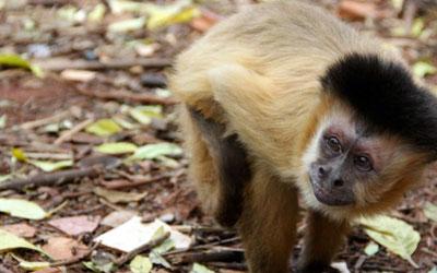 Macacos-prego do Piauí foram base para estudo (Foto: Fábio Rodrigues)