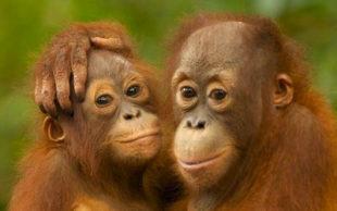 destaque_orangotango2