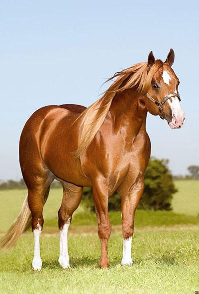 Pin Quarto De Milha Lista Cavalos Para Compra E Venda on  ~ Wallpaper Cavalos Quarto De Milha