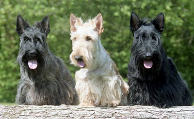 scottish_terrier2