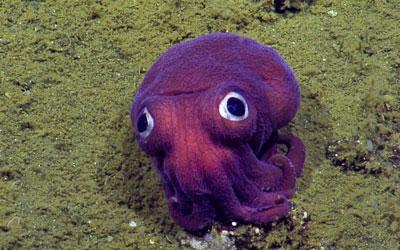 Imagem da câmera NautilusLive mostra lula de olhos arregalados no fundo do oceano no sul da Califórnia (Foto: OET/Nautiluslive via AP)