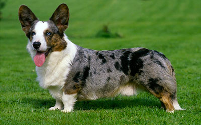 destaque_welsh_corgi