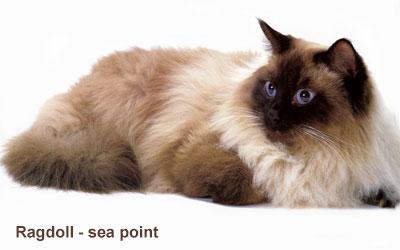 ragdoll_sea_point