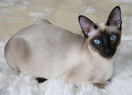 tonkinese-cat
