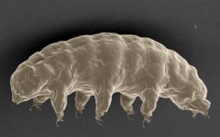 A estranha e microscópica criatura que se assemelha a um urso aquático tem um gene específico que, segundo cientistas, o ajuda resistir à radiação (Foto: S Tanaka/H Sagara/T Kunieda )