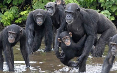 destaque_chimpanzes