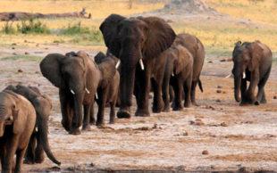 destaque_elefantes_africanos