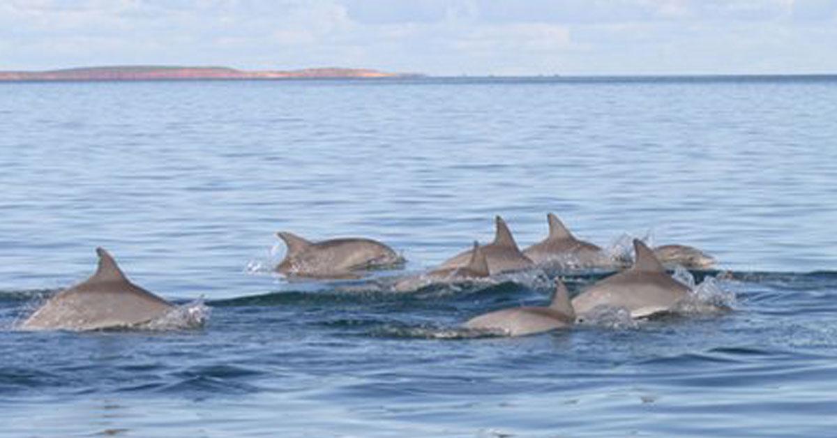 Esta reunião de golfinhos para proteção mostra inteligência da espécie, afirmam cientistas. (Foto: BBC)