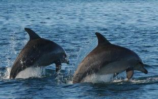 destaque_golfinhos_gang