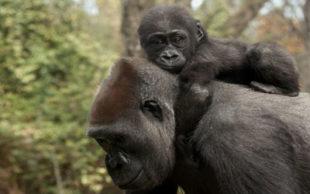 destaque_gorila