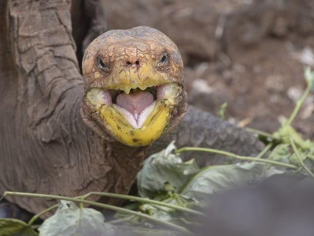 Diego tem um grande apetite sexual, mesmo em cativeiro (Foto: RODRIGO BUENDIA / AFP)