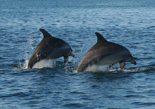 """Golfinhos se reúnem em """"gangues"""" para proteger fêmeas de grupos rivais (Foto: BBC)"""