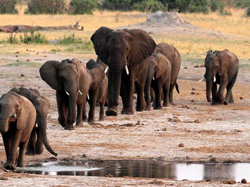 elefantes_africanos