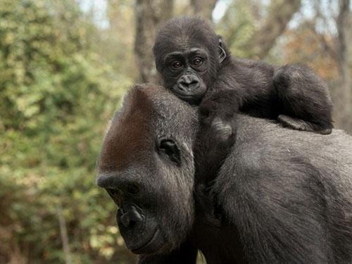 Humanos e macacos tem violência em sua história (Foto: Julie Larsen Maher/Wildlife Conservation Society/AP)