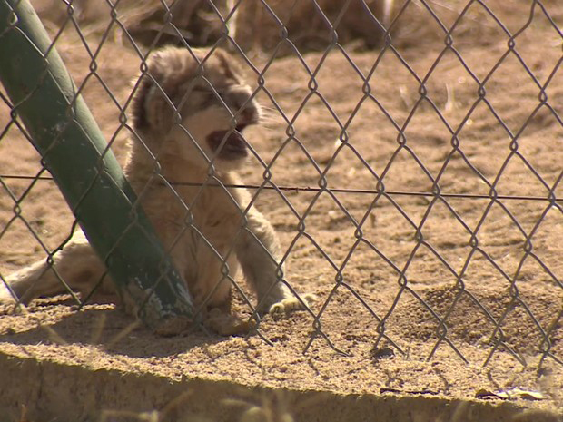 Felinos são criados com a finalidade de serem abatidos (Foto: BBC)