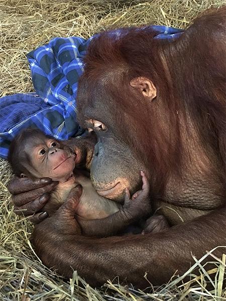 orangotango_bebe