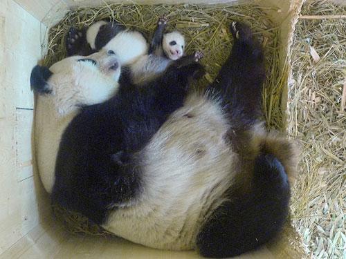 Gêmeos, que nasceram em 7 de agosto, em foto desta quarta-feira (28) (Foto: Schoenbrunn Zoo/Handout via REUTERS)