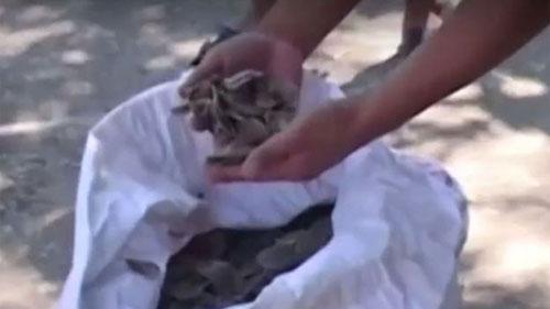 Escamas do animal são usadas por curandeiros na China e no Vietnã (Foto: BBC)