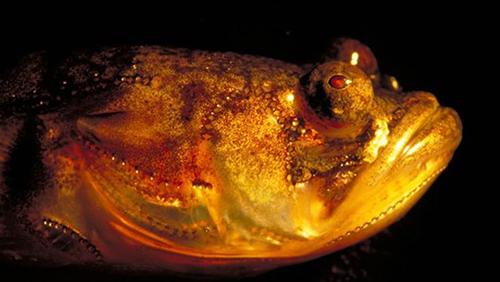 Peixe do gênero Porichthys, com fotóforos luminescentes - órgãos que emitem luz (Foto: Andrew Bass)