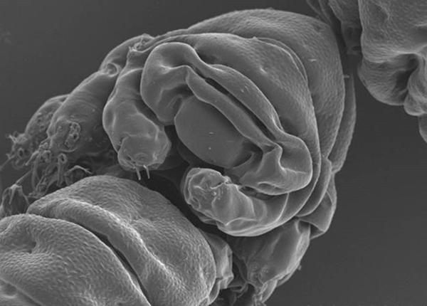 """Cientistas estudaram o genoma da espécie Ramazzottius varieornatus para identificar a """"arma secreta"""" que explica como os tardígrados são capazes de sobreviver a todo tipo de condições extremas (Foto: S Tanaka/H Sagara/T Kunieda)"""