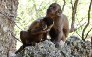 Macacos-prego batem pedras para produzir objetos cortantes (Foto: M.Haslam)