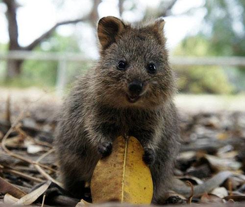 Marsupial é comum da região sudoeste da Austrália (Foto: Reprodução)