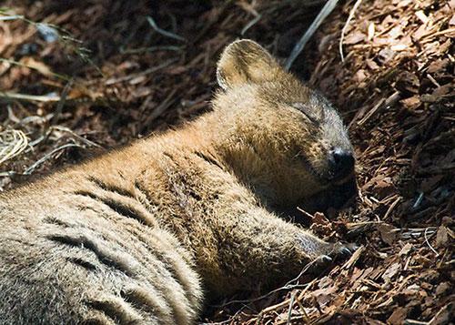 Quokka é parente do canguru, e está ameaçado de extinção (Foto: Reprodução)