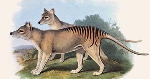 tigre_tasmania22