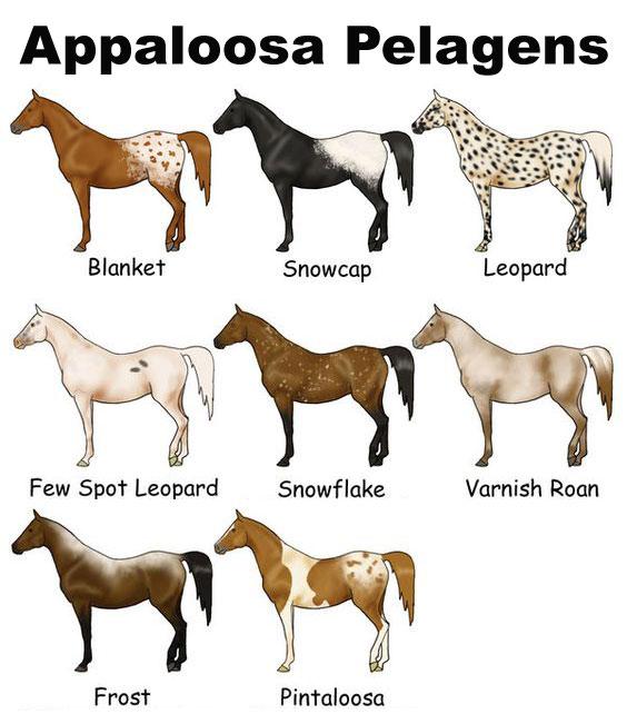 appaloosa_pelagens