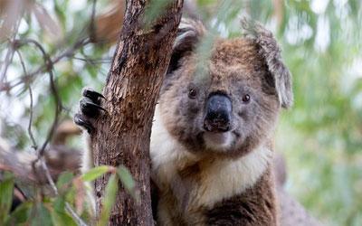 destaque_koala
