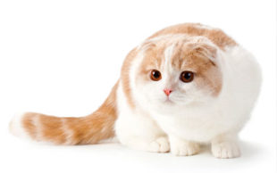 destaque_scottishfold